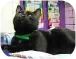 Domestic Shorthair Cat for adoption in Aldie, Virginia - Tobias
