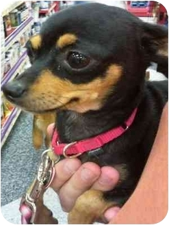Chihuahua Dog for adoption in Phoenix, Arizona - Lola