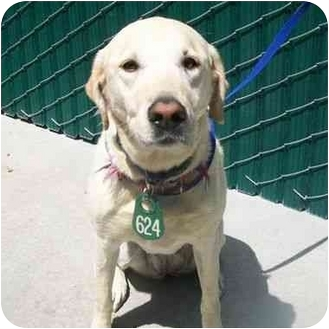 Labrador Retriever Dog for adoption in San Diego, California - JAMILLA