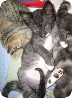 Domestic Shorthair Kitten for adoption in Davis, California - Anubis