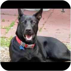 German Shepherd Dog Dog for adoption in Houston, Texas - Jobim