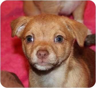 Rat Terrier/Yorkie, Yorkshire Terrier Mix Puppy for adoption in Hagerstown, Maryland - Binky