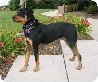 Rottweiler Dog for adoption in Tracy, California - Rachel