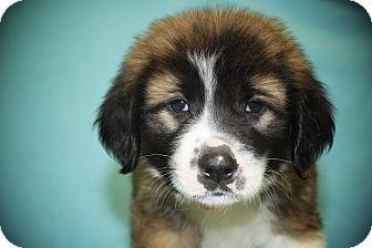 St. Bernard Mix Puppy for adoption in Broomfield, Colorado - Sleepy