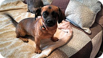 Dachshund/Brussels Griffon Mix Dog for adoption in Fort Collins, Colorado - LIBBY