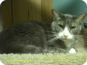 Domestic Shorthair Cat for adoption in Spokane, Washington - George