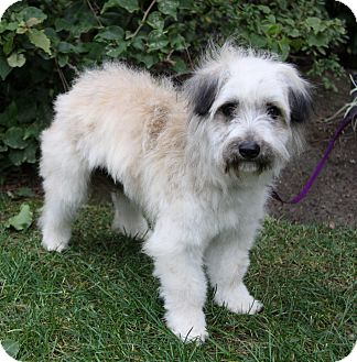 Havanese/Terrier (Unknown Type, Small) Mix Dog for adoption in Newport Beach, California - LORIN