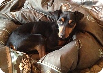 Miniature Pinscher Dog for adoption in Sacramento, California - Ross