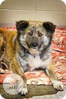 Australian Shepherd Dog for adoption in Brookings, South Dakota - Chardonnay