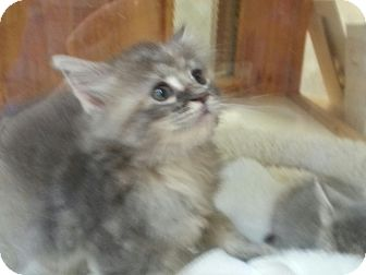 Domestic Mediumhair Kitten for adoption in South Windsor, Connecticut - Dazzle