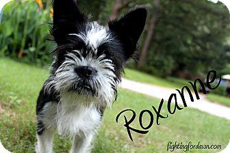 Boston Terrier/Brussels Griffon Mix Dog for adoption in Atlanta, Georgia - Roxanne