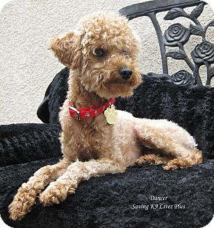 Poodle (Toy or Tea Cup) Dog for adoption in Encino, California - Dancer