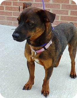 Shepherd (Unknown Type) Mix Dog for adoption in kennebunkport, Maine - Alice - Pending, in ME