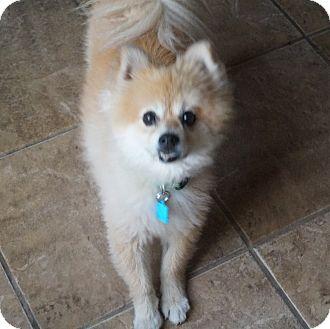 Pomeranian Dog for adoption in conroe, Texas - Rocco