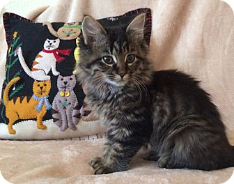 Domestic Mediumhair Kitten for adoption in Plano, Texas - KATNISS - SWEET & ADORABLE!!