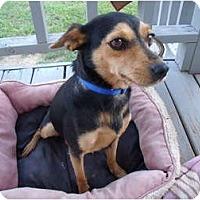 Adopt A Pet :: Cookie-update - Glastonbury, CT