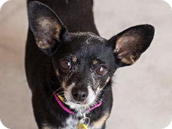 Chihuahua Mix Dog for adoption in Phoenix, Arizona - Minnie Mouse