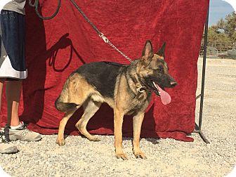 German Shepherd Dog Dog for adoption in Pahrump, Nevada - Dasher