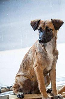 Spaniel (Unknown Type) Mix Puppy for adoption in Del Rio, Texas - Blossom