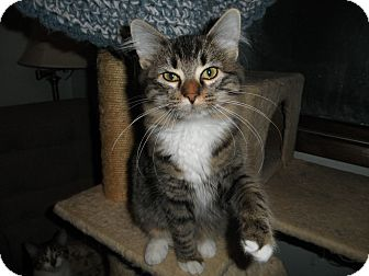 Domestic Longhair Kitten for adoption in Milwaukee, Wisconsin - Zoozie