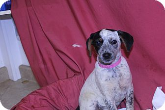 Blue Heeler Mix Puppy for adoption in Waldorf, Maryland - Lois