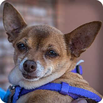 Chihuahua Dog for adoption in San Marcos, California - Franny
