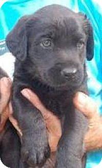 Labrador Retriever Mix Puppy for adoption in Hammonton, New Jersey - Julia