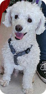Bichon Frise/Poodle (Miniature) Mix Dog for adoption in Phoenix, Arizona - Charlie