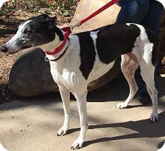 Greyhound Dog for adoption in Knoxville, Tennessee - AMF Bouncing Ball