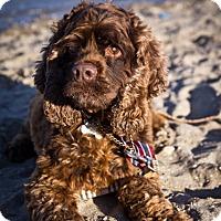 Adopt A Pet :: Coco Bear - Orange, CA