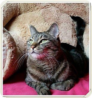 Domestic Shorthair Cat for adoption in Las Vegas, Nevada - Gidget