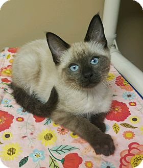Siamese Kitten for adoption in Germantown, Tennessee - Yzma *ADOPTION PENDING*