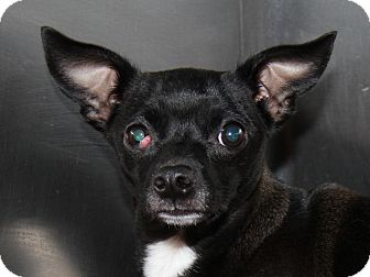 Chihuahua Mix Dog for adoption in Marietta, Ohio - Pippy (Spayed)