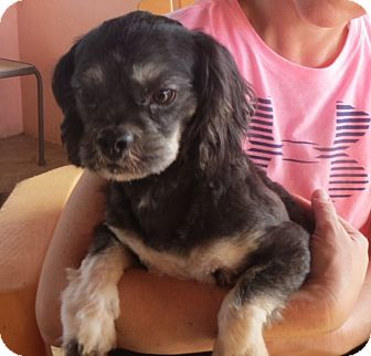 Lhasa Apso Mix Dog for adoption in Salem, New Hampshire - Bryson