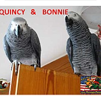 Adopt A Pet :: 1 or 2 African Grey's - Vancouver, WA