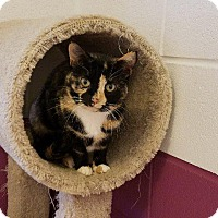 Domestic Shorthair Cat for adoption in Crossville, Tennessee - Julie