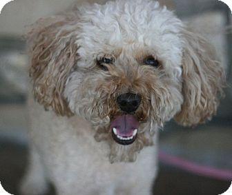 Poodle (Miniature) Dog for adoption in Canoga Park, California - Donut
