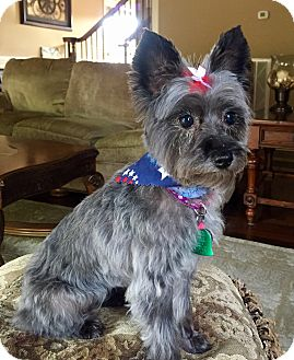 Silky Terrier/Poodle (Miniature) Mix Dog for adoption in Pulaski, Tennessee - Lexie