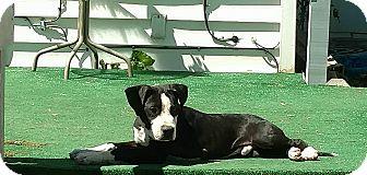 Pit Bull Terrier Mix Dog for adoption in Wichita Falls, Texas - Jax