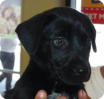 Labrador Retriever Puppy for adoption in Cantonment, Florida - Puppies!