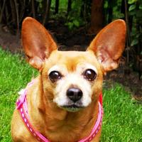 Adopt A Pet :: Perla - Itasca, IL