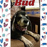 Adopt A Pet :: Bud - Cape Coral, FL