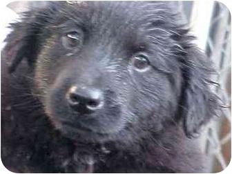 Labrador Retriever/Golden Retriever Mix Puppy for adoption in Los Angeles, California - Lab Boys