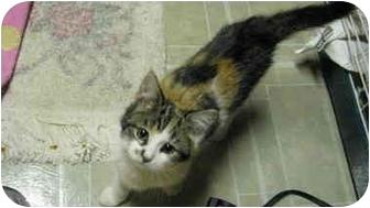 Domestic Shorthair Kitten for adoption in Byron Center, Michigan - Nessa