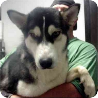 Husky Dog for adoption in Manassas, Virginia - Apllo