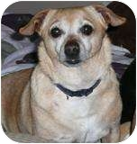 Chihuahua Mix Dog for adoption in Albuquerque, New Mexico - Bailey-DOG OF MONTH