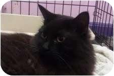 Domestic Longhair Cat for adoption in Medford, Massachusetts - Chloe