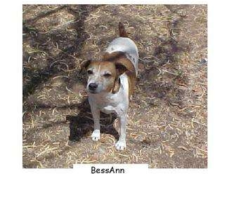 Jack Russell Terrier Dog for adoption in San Antonio, Texas - Bess Ann in Seguin