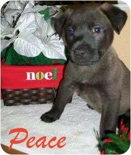Labrador Retriever Mix Puppy for adoption in Schertz, Texas - Peace