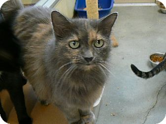 Maine Coon Cat for adoption in Houston, Texas - Athena